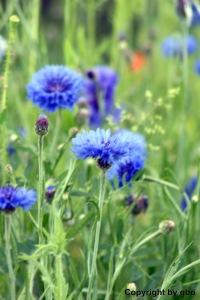 Kornblume, Bleubleuet heißt Kornblumenblau